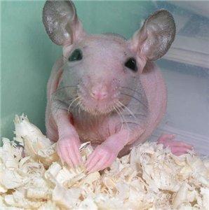 А тут увидела фото голых крыс.  Порода - сфинкс.  У этой породы тоже...